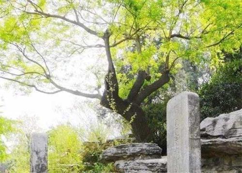 图1:北京景山公园纪念明朝崇祯帝自缢殉国处,古歪脖树已死,后来移植了新株。